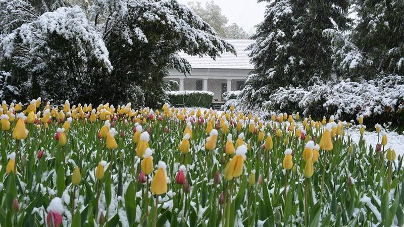 Hóba burkolóztak a tulipánok a Vácrátóton